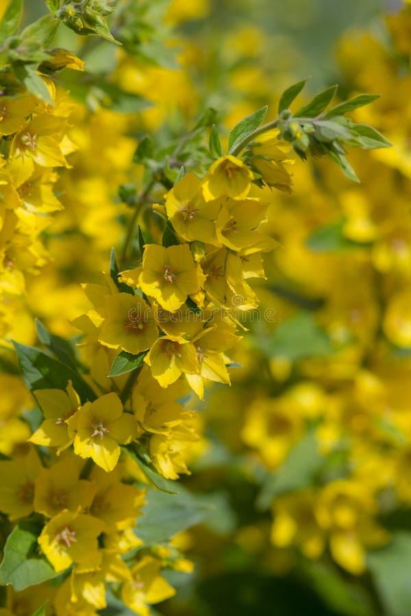 黄色开花的珍珠菜 免版税库存照片