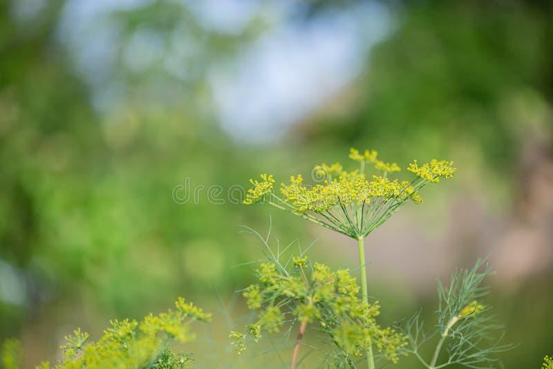 黄色开花的莳萝,Anethum graveolens,在美好的被弄脏的背景的特写镜头 免版税库存照片