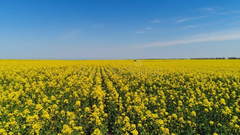 黄色开花的领域顶视图在好日子 ?? 黄色太阳领域美丽如画的美丽的景色在背景的 免版税库存图片
