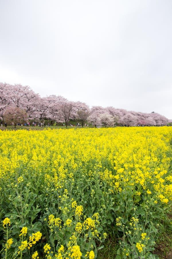 黄色开花的nanohana的领域与后边桃红色樱花的:Gongendo公园在Satte,埼玉,日本 免版税图库摄影