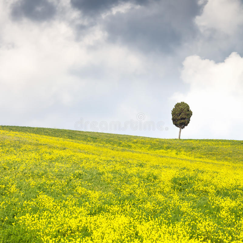 黄色开花绿色域、偏僻的柏树和多云天空 库存照片