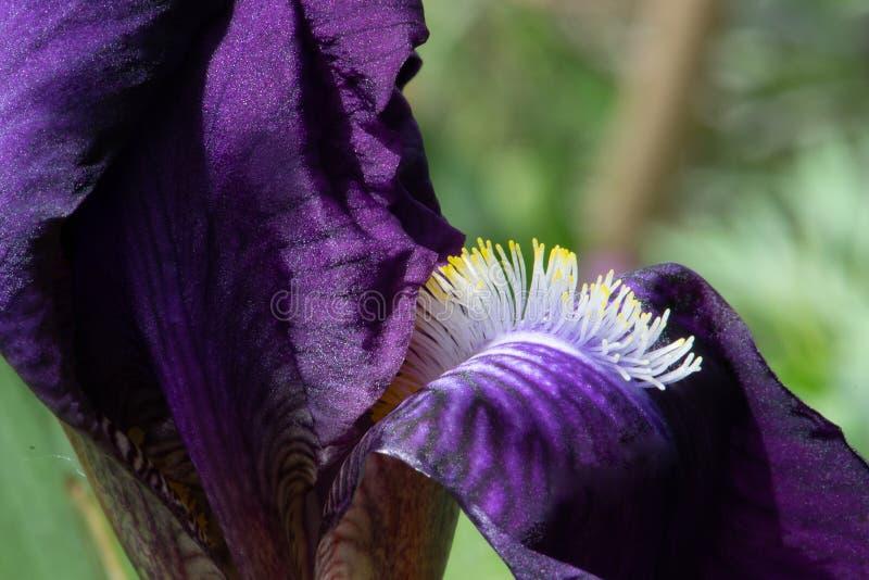 黄色技巧蓝紫色有胡子的虹膜花 库存图片