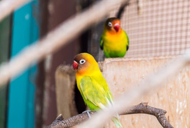 黄色抓住衣领口的爱情鸟Agapornis personatus 库存图片