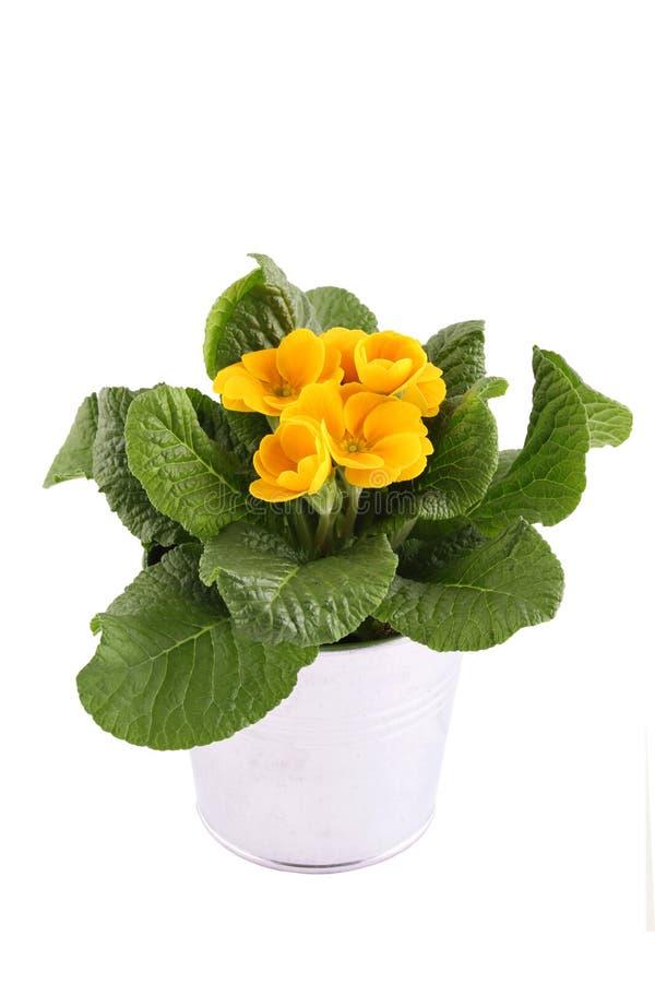 黄色报春花盆的植物 库存图片