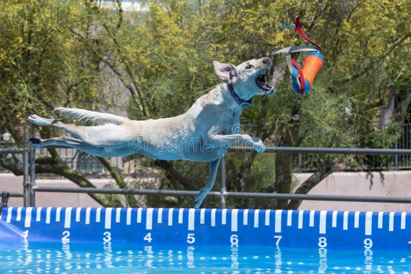 黄色拉布拉多猎犬在水上捕捉玩具 库存照片