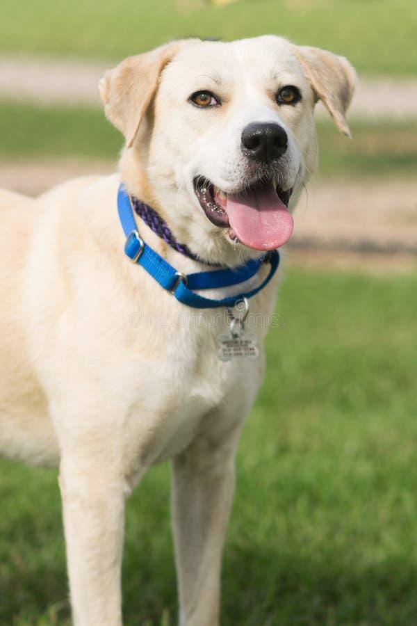 黄色拉布拉多猎犬混合 库存图片