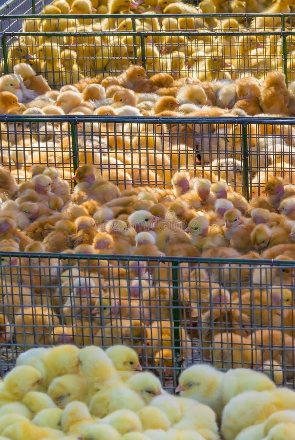 黄色新生儿鸭子和鸡在电话在农村市场上 一点蓬松婴孩小鸡 家禽场 ?? 库存图片