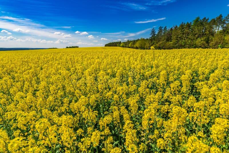 黄色明亮的开花的油菜籽领域自然背景 免版税库存照片