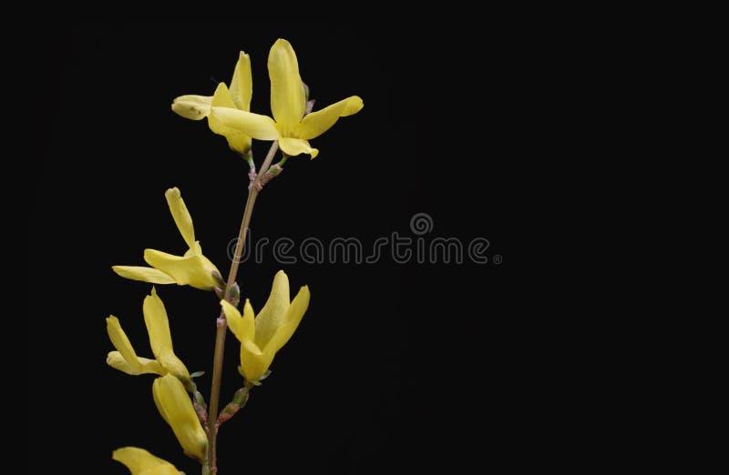 黄色春天小树枝在黑背景开花 免版税图库摄影