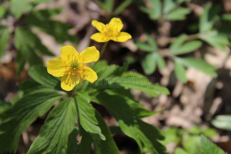 黄色春天花 Prevosvety在春天 自然在乡下 美好开花 免版税库存照片