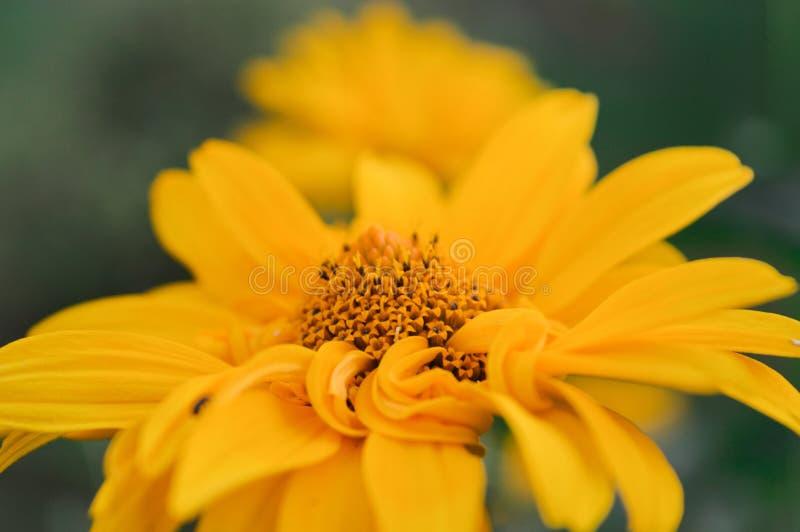 黄色春黄菊在白俄罗斯 免版税图库摄影