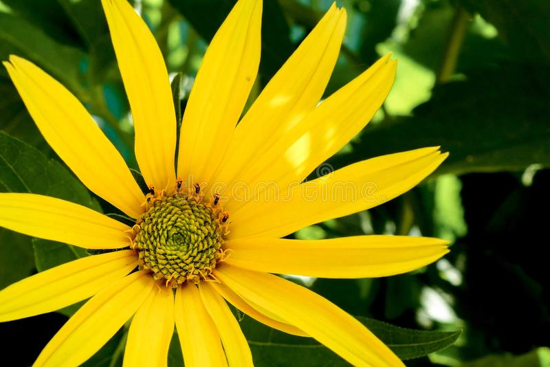 黄色春黄菊或雏菊花特写镜头宏观图象 花卉夏天庭院背景 库存图片