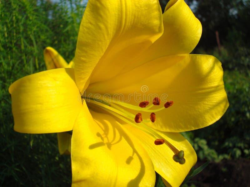 黄色晴朗的百合 金典雅的留声机 免版税库存照片