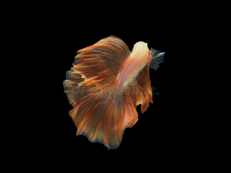 黄色暹罗战斗的鱼,金龙betta是很凉快的 半月plakad,泰国样式 图库摄影