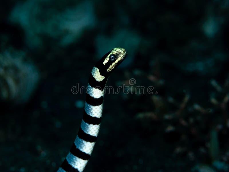 黄色有嘴海krait,Laticauda colubrina 佩戴水肺的潜水在北部苏拉威西岛,印度尼西亚 库存图片