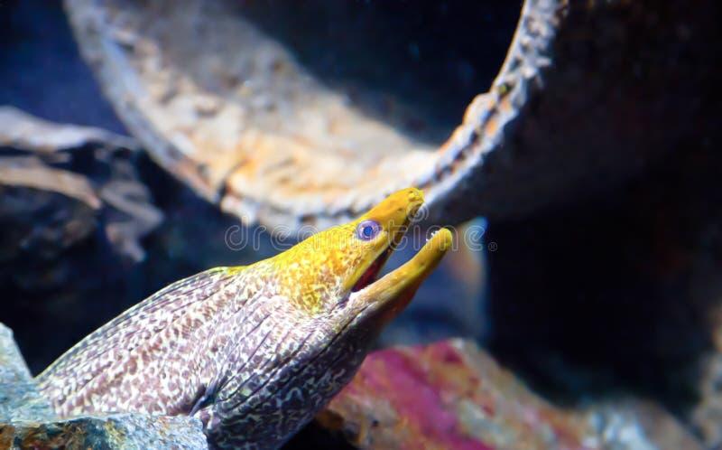 黄色朝向的海鳝 库存照片