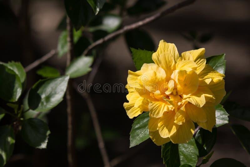 黄色木槿花在黑dard背景中 库存照片