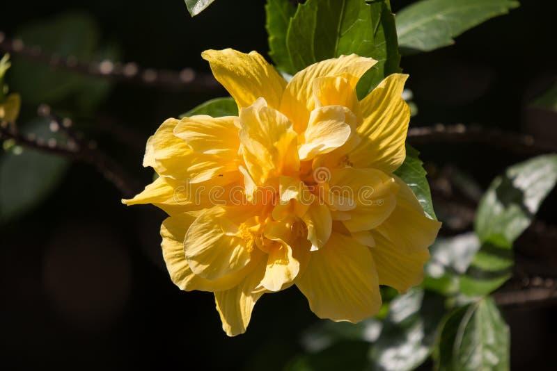 黄色木槿花在黑dard背景中 库存图片