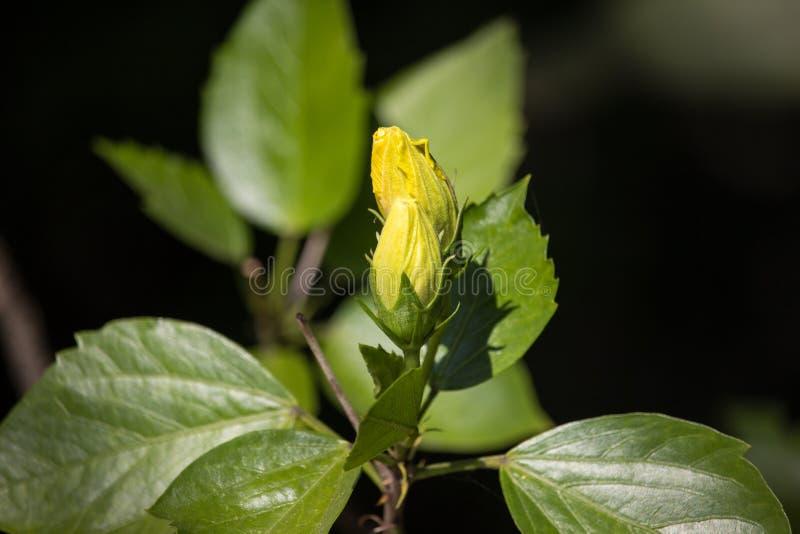 黄色木槿花在黑dard背景中 免版税图库摄影