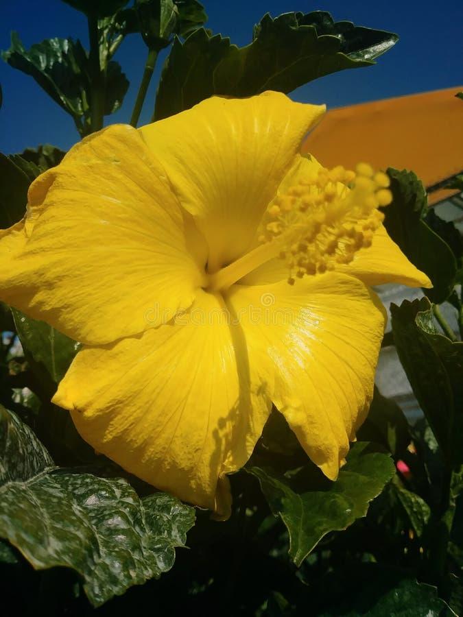 黄色木槿 库存图片