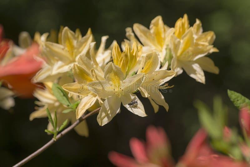黄色杜鹃花在春天 免版税库存图片