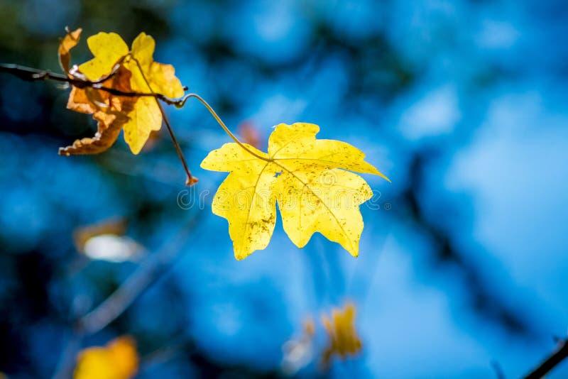 黄色枫叶在一棵树的一个森林里在fall_的天空蔚蓝背景 免版税库存图片