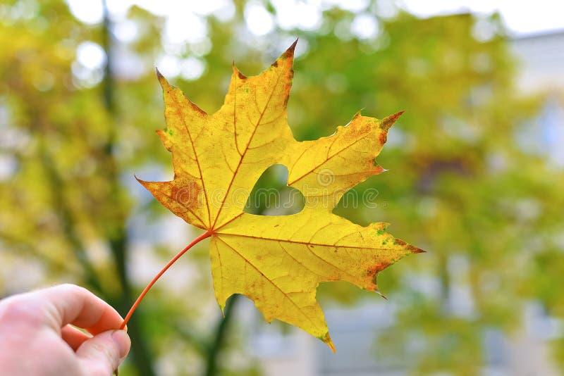 拿着绿色叶子的妇女手反对美丽的秋天树在有阳光的一个森林里.图片