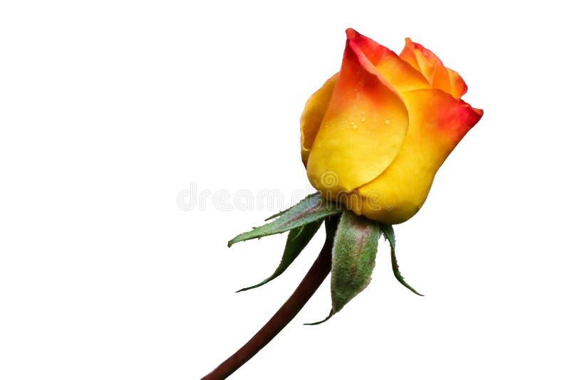 黄色桃红色开花在白色背景上升了 库存图片