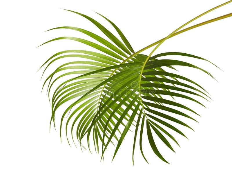 黄色棕榈叶Dypsis lutescens或金黄藤茎棕榈,槟榔树棕榈叶,在白色背景隔绝的热带叶子 库存图片