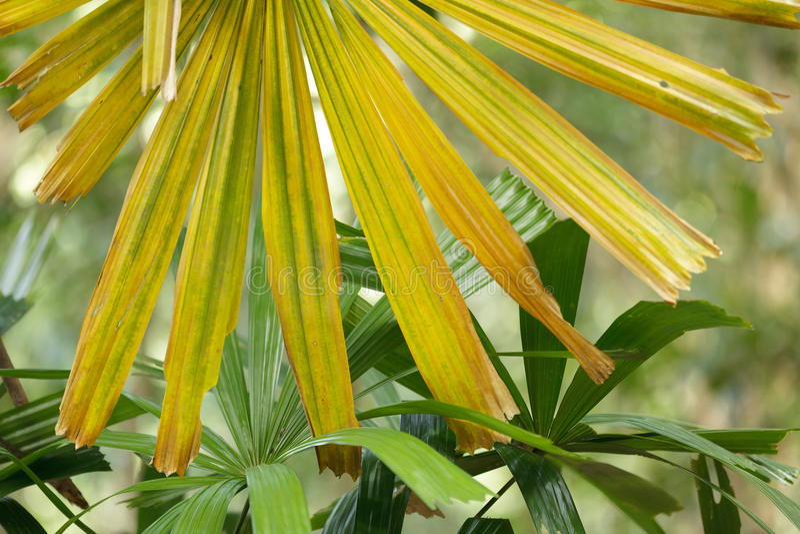 黄色棕榈树 库存照片