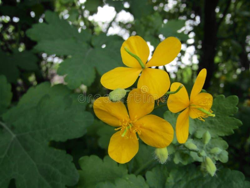 黄色植物白屈莱属majus 免版税库存图片