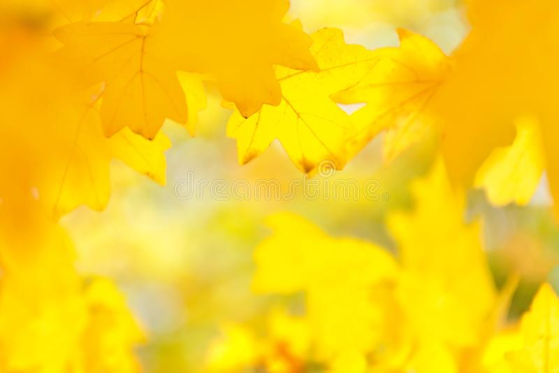 黄色槭树叶子的非被聚焦的,被弄脏的图象,秋天迷离背景,纹理 免版税库存图片