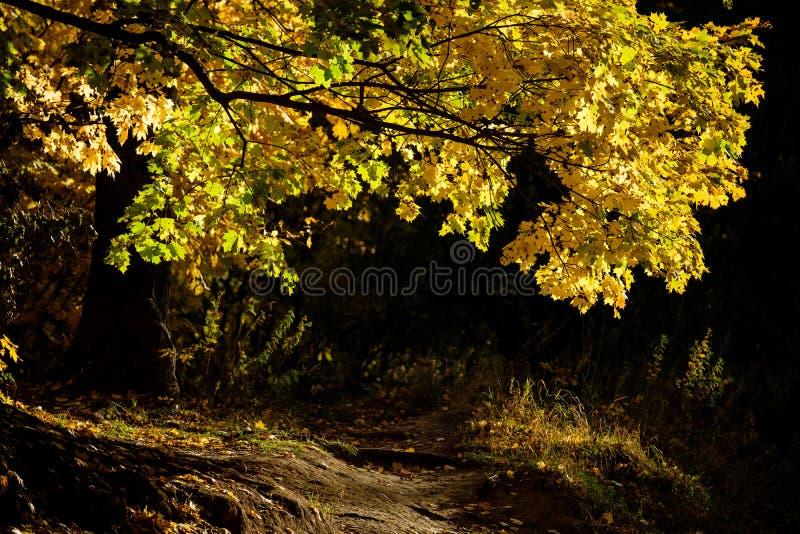 黄色槭树胡同在秋天森林里 库存图片
