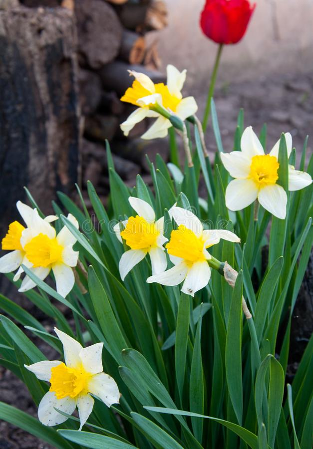 黄色水仙在庭院里 库存图片