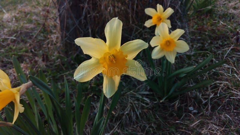 黄色花在春天 库存照片