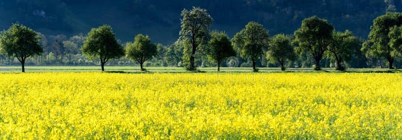 黄色油菜籽领域和开花的果树园树全景视图在春天 免版税库存图片