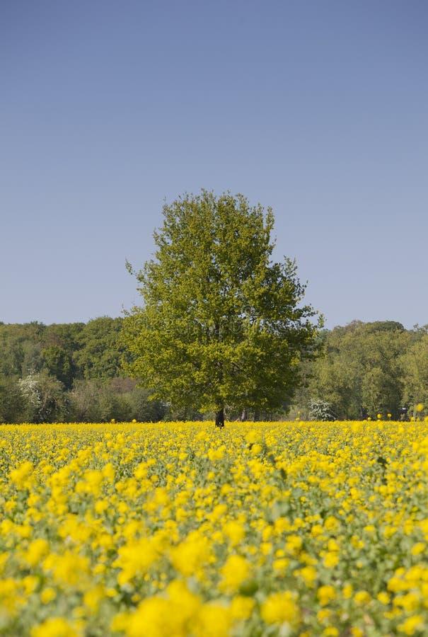 黄色油菜籽领域和树在蓝天下在荷兰 库存图片