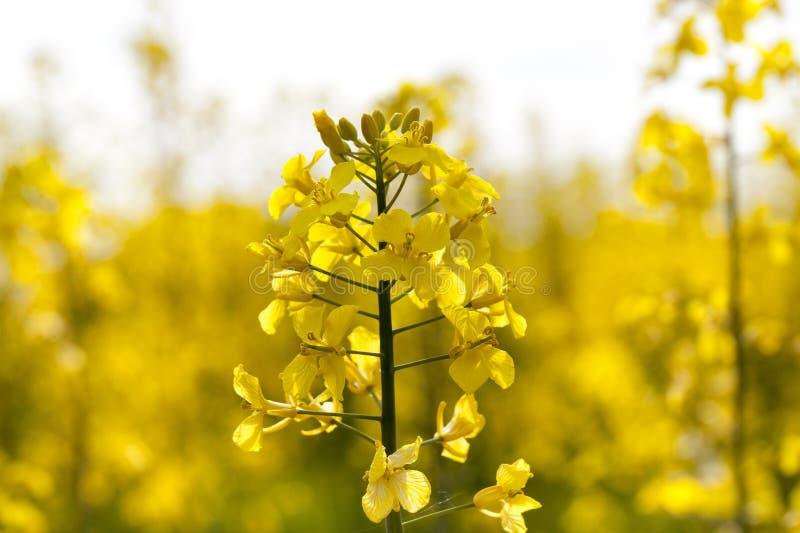 download 黄色油菜花 库存照片.图片