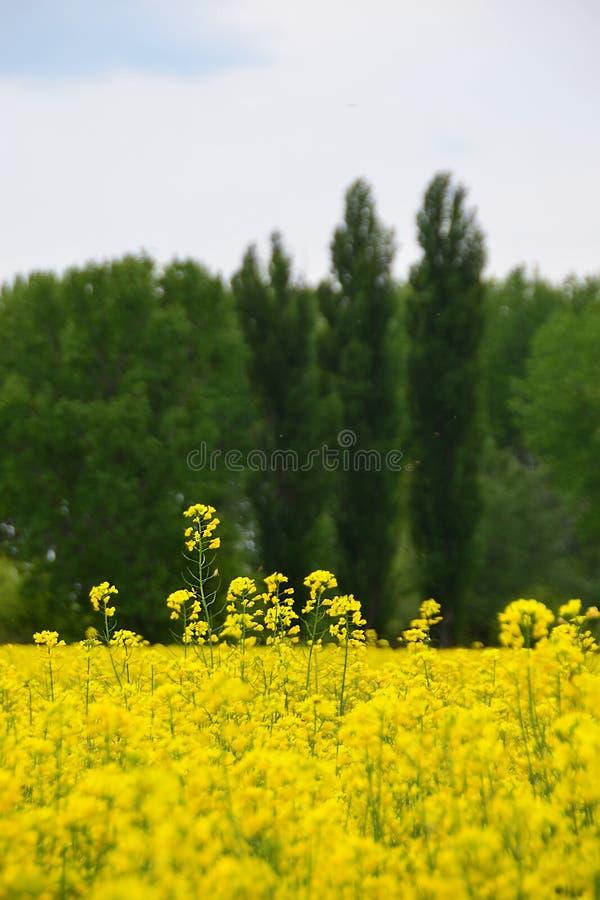 黄色油菜领域和蓝色多云天空,农业背景 免版税库存图片