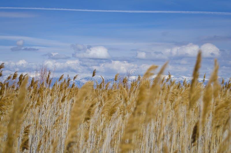 黄色沼泽地在蓝色清楚的天空下 库存图片