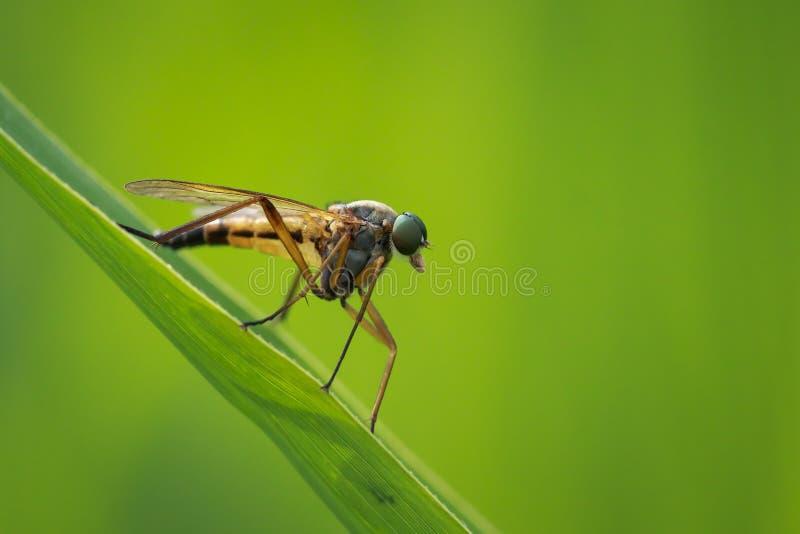 黄色沼泽Snipefly, Rhagio trin的侧视图宏观特写镜头 免版税库存图片