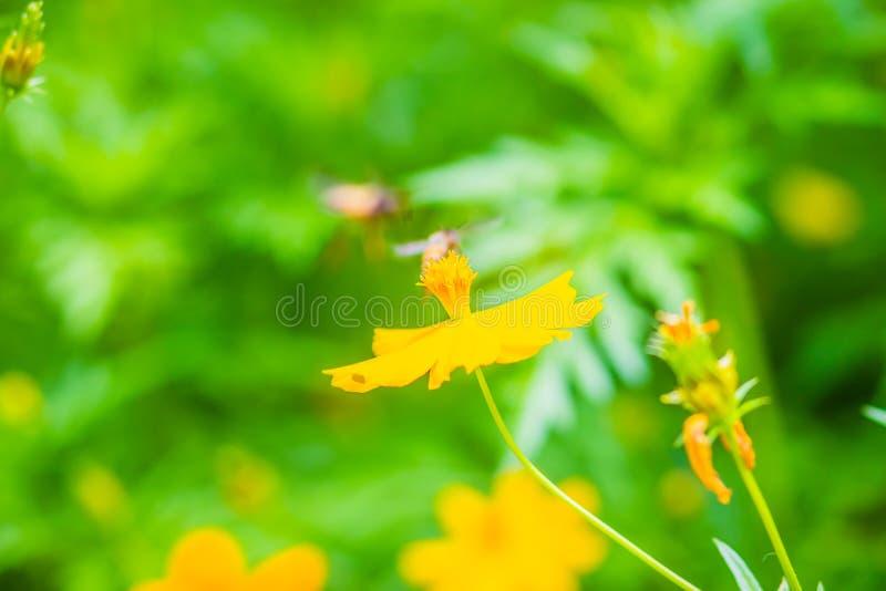 黄色波斯菊sulphureus开花与小黑色蜜蜂,并且绿色留下背景 亦称波斯菊sulphureus是硫磺cosmo 库存图片