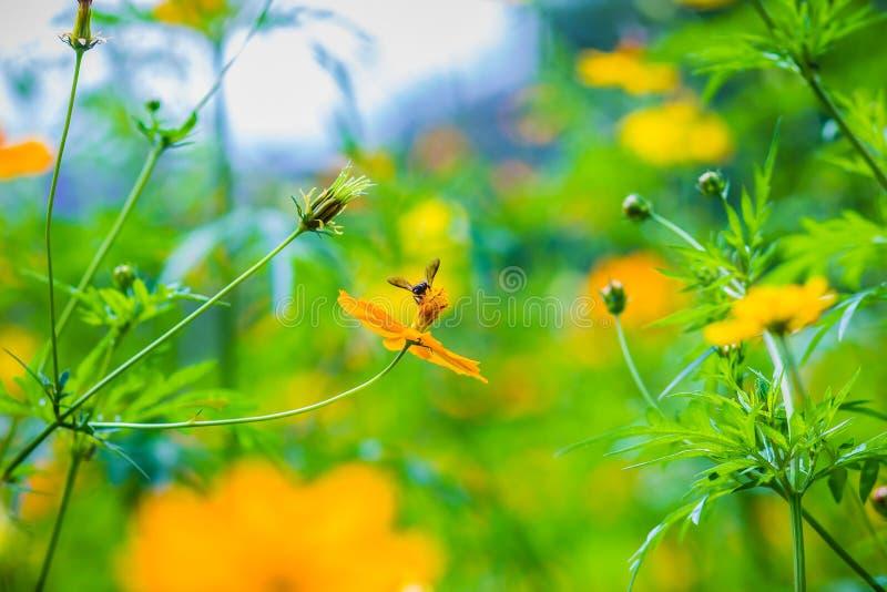 黄色波斯菊sulphureus开花与小黑色蜜蜂,并且绿色留下背景 亦称波斯菊sulphureus是硫磺cosmo 免版税库存照片