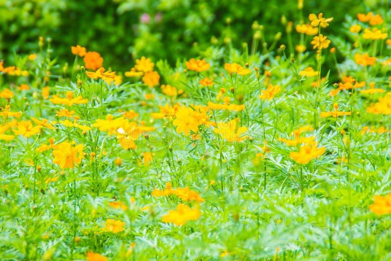 黄色波斯菊sulphureus的领域开花有绿色叶子背景 亦称波斯菊sulphureus是硫磺波斯菊和yello 库存照片