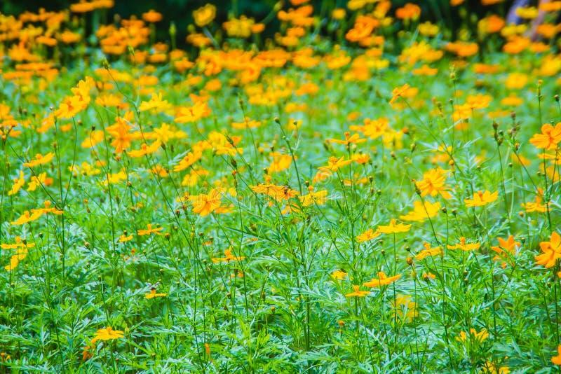 黄色波斯菊sulphureus的领域开花有绿色叶子背景 亦称波斯菊sulphureus是硫磺波斯菊和yello 免版税库存照片