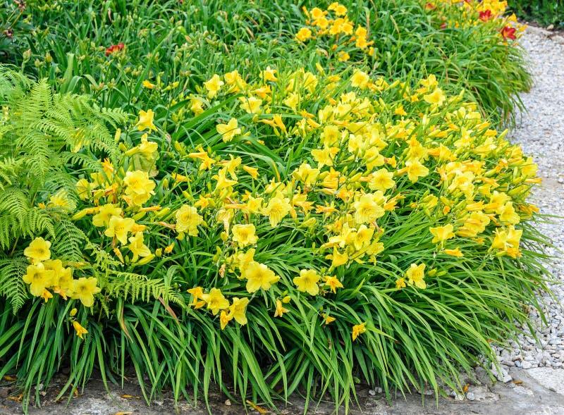 黄色灌木百合属植物开花,绿色叶子紧密  免版税库存图片