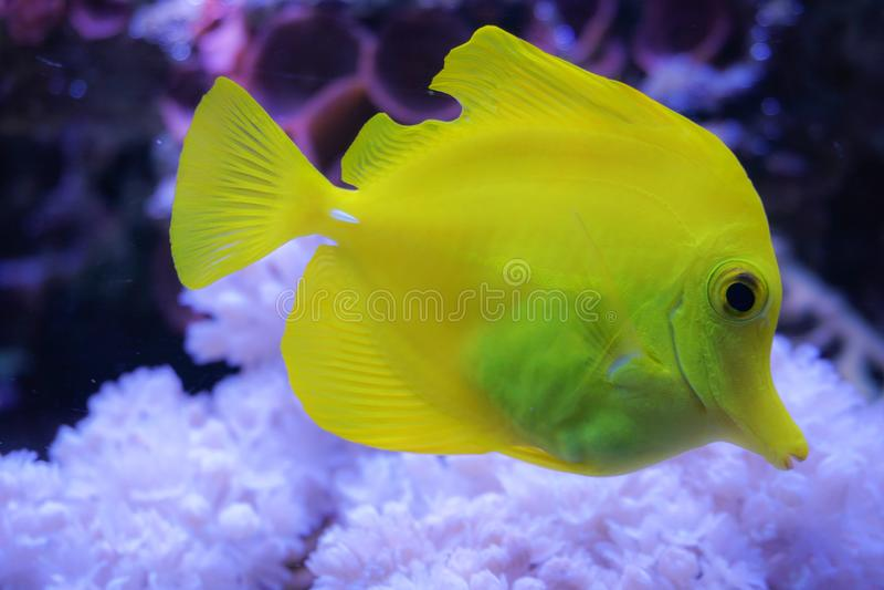 黄色特性zebrasoma盐水水族馆鱼 免版税库存照片