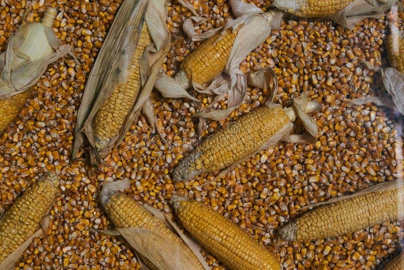 黄色玉米五谷和整个玉米食物背景,种田和农业 免版税库存照片