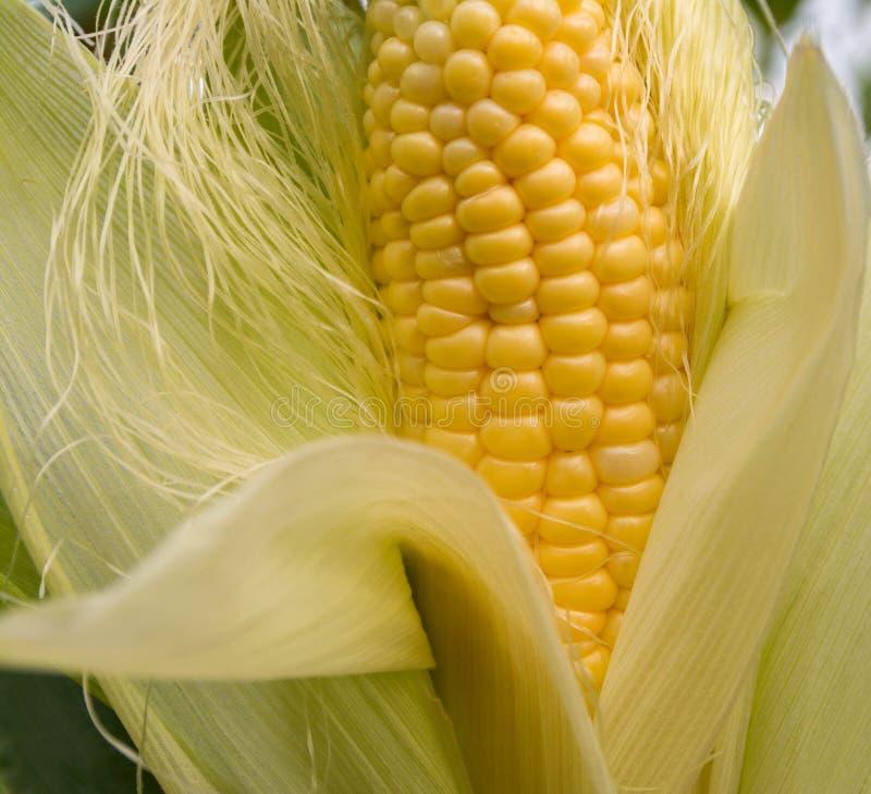 黄色玉米面,在茎的特写镜头玉米在麦地,有机麦地 免版税图库摄影