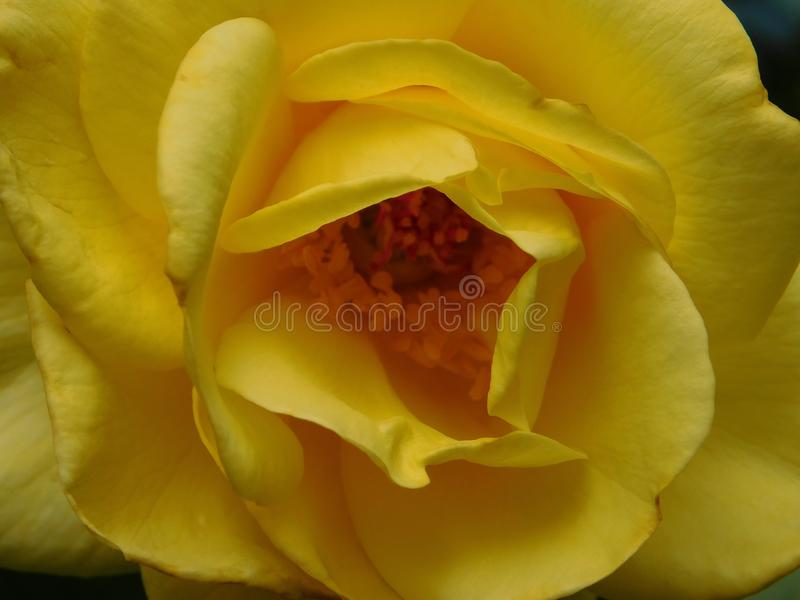 黄色玫瑰丛 库存照片
